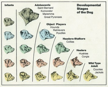 Developmental Stages of the Dog