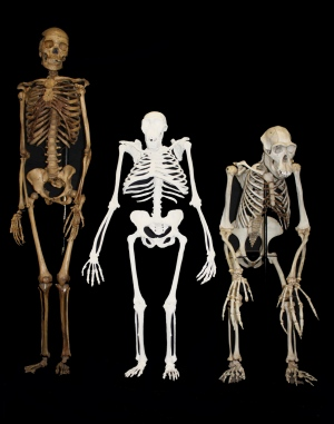 Reconstruction of Australopithecus sediba ape skeleton 2 m.y.a. compared to those of a modern human (left) and a modern chimpanzee (right).