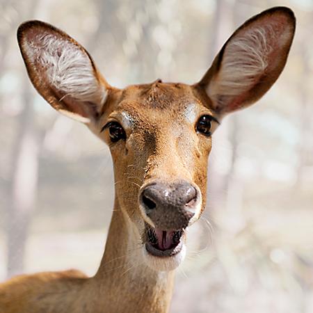 hh-animals-deer-4