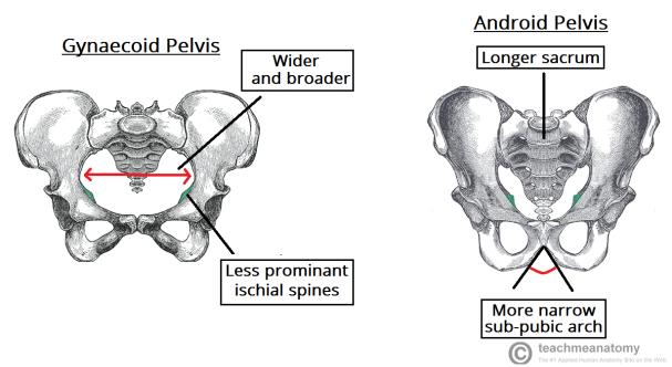 Gynaecoid-Pelvis-vs-Android-Pelvis