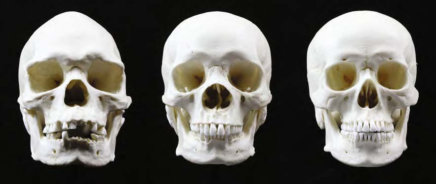 The skulls of the 3 major races - Theory Of Universe