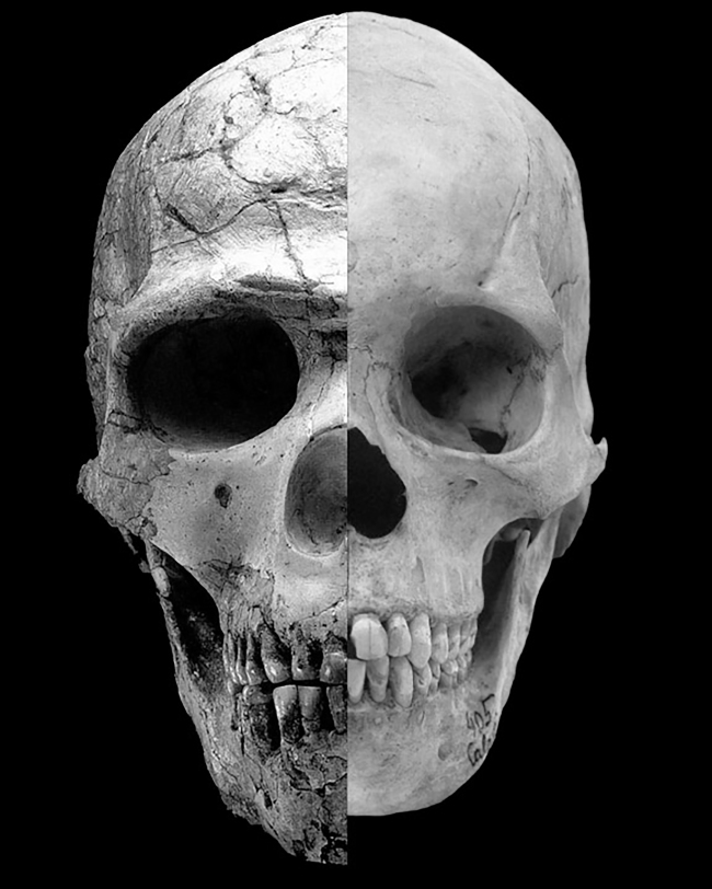 """Adult Homo sapiens: archaic compared to more recent """"feminized"""" (neteonized) skull"""