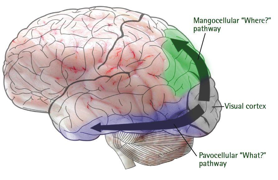 visual pathways   Asperger: The HypoSocial Human