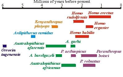 Hominid Evolution Timeline Does drawing lines for...