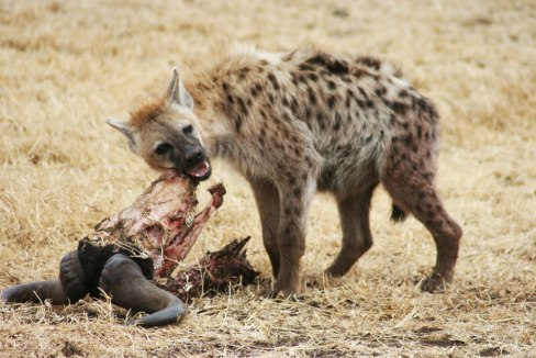 http___www_wired_com_wp-content_uploads_2014_05_spotted_hyena_gnawing_gnua