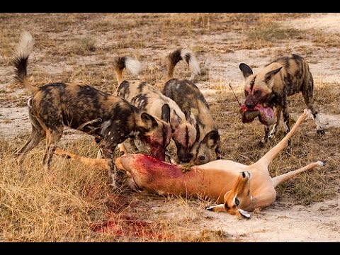 wild-dogs-and-hyenas-eat-gazelle