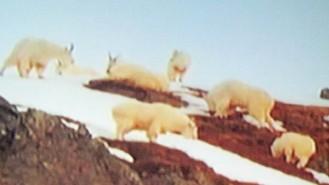 goats1928