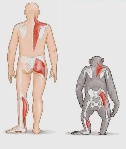 chimpanzee-human-biomechanics-comparison