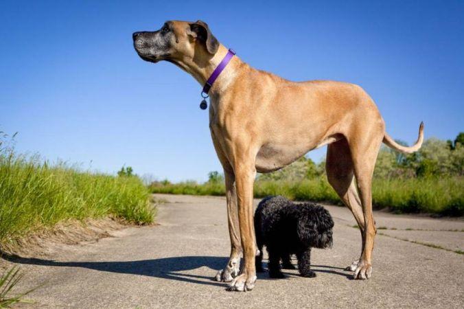 largest-dogs-dane_0_jpg_838x0_q80